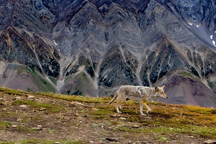 03NA-Rob Macdonald-Mountain Coyote